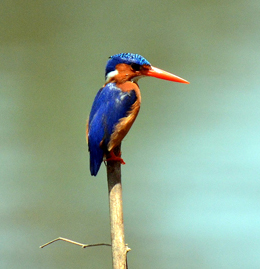 malachite-kingfisher