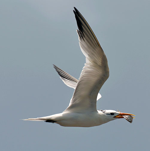 A Lesser Crested Tern takes off with his lunch.
