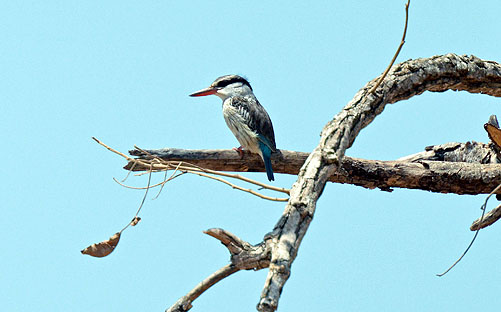 Striped Kingfisher photographed at Tujering.